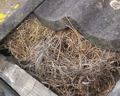 overlast door vogels-onder-dakpannen dakinspectie