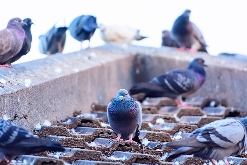 Last van vogels onder het dak